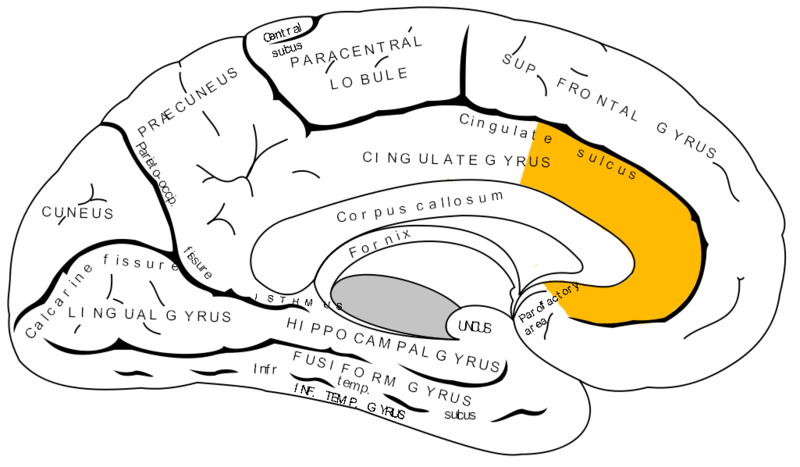 800px-Gray727_anterior_cingulate_cortex